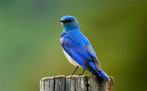 blue birds wallpapers entertainment only