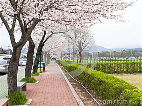 6 cherry tree walk sidewalk with trees editorial photography image of freshness 50976082