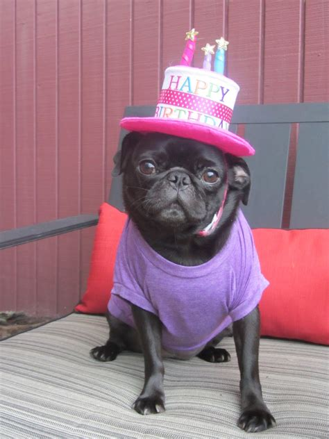 pug birthday song pugs happy birthday pugs images birthday pug hd wallpaper and background pug birthday
