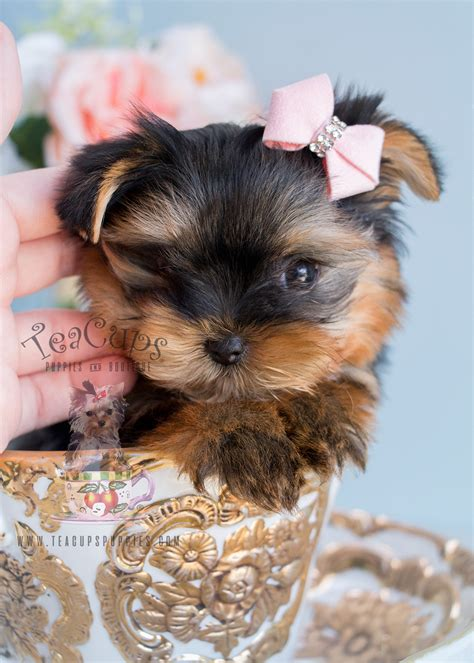 yorkie florida terrier puppy for sale south florida teacups puppies boutique