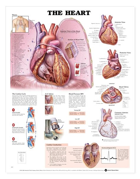 the heart and the the heart anatomical chart cardiac anatomy poster