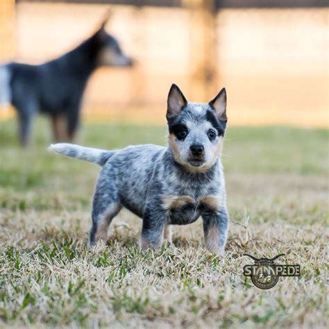 blue heeler pattern 513 best images about all things heeler on pinterest