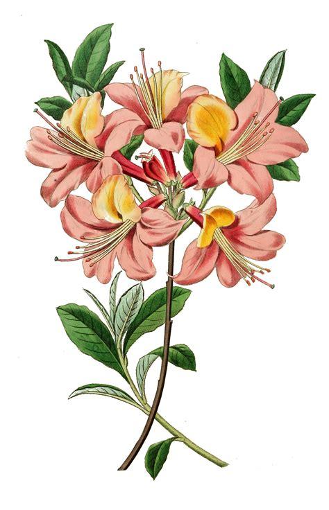 vintage illustration botanical illustration vintage