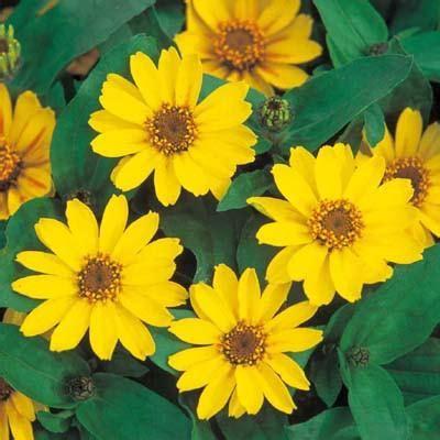 Bibit Benih Seed Sayur Lobak Radish Home Growing Vegetables zinnia profusion yellow gardentrends