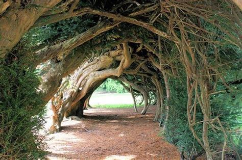 cool trees the ancient yew tree of regeneration of the good tree