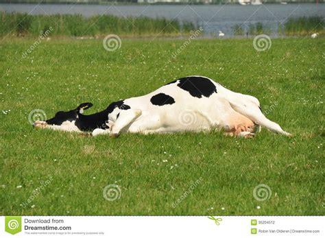 Lazy Cow lazy cow stock photo image of milk sleep animal dead