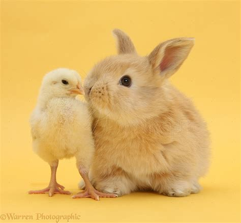 Cute sandy rabbit and bantam chick on yellow background