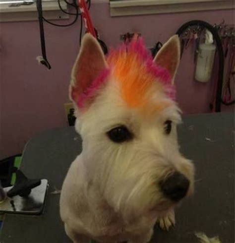 mohawk style for yorkie 15 best images about customer styles on pinterest chloe