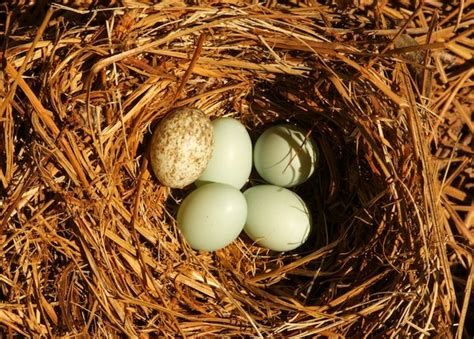 when do cardinals lay eggs nestwatch