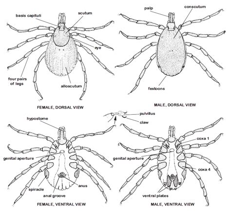 Labelled Diagram Of A Tick