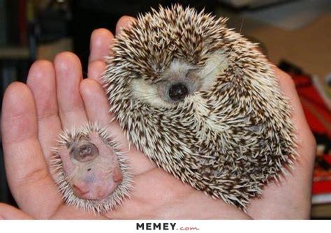 hedgehog memes funny hedgehog pictures memey com