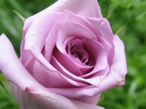 imagenes de rosas lilas p 225 ssaros e flores estou pensando em rosas