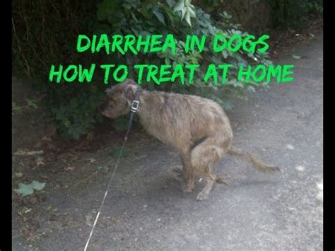 how to stop diarrhea in dogs diarrhea mashpedia free encyclopedia