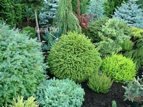 dwarf shrubs evergreen evergreen ladyroom club