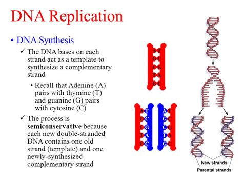Dna Replication And Protein Synthesis Ppt Video Online Download What Acts As The Template In Dna Replication
