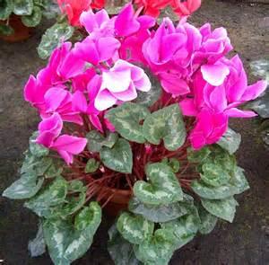 ciclamini in vaso piante da vaso cyclamen ciclamino cyclamen persicum