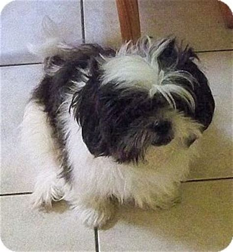 shih tzu puppies for adoption in florida jacksonville fl shih tzu meet tofu a for adoption