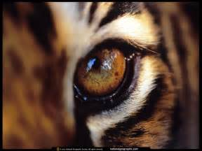 amur tigers images tiger eye hd wallpaper and background photos 27143749