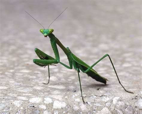 praying mantis garden pest ba6 specialism research insects and creepy crawlies