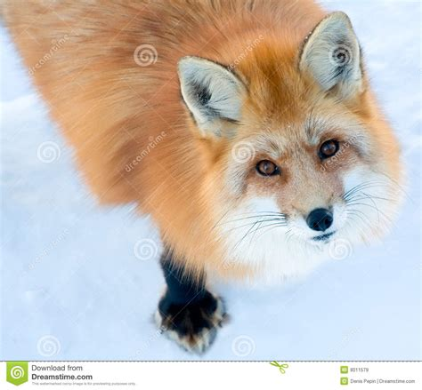 fox looking fox is looking up at the royalty free stock images image 8011579