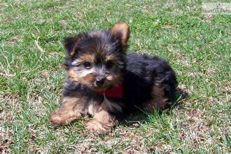 yorkie poo puppies st louis mo dogs and puppies for sale and adoption oodle marketplace