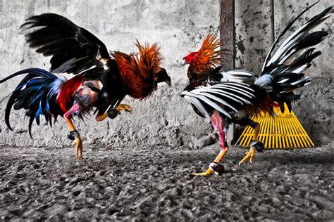 Kaos New Year 07 Ayam Rooster sabung ayam gallery