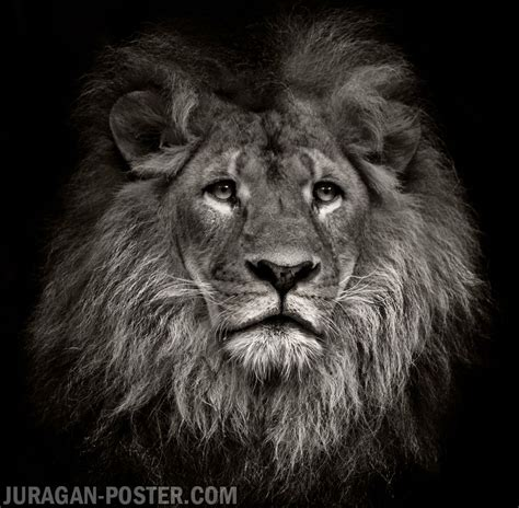 Jual Cat Poster Gambar by Juragan Poster Jual Poster Gambar Hewan Binatang Singa