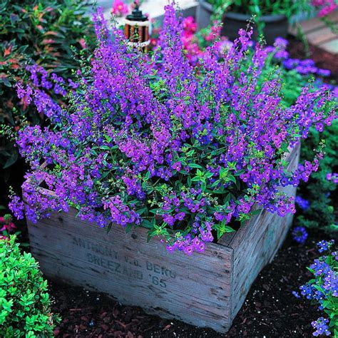 Purple Garden Flower 39 Best Images About High Heat Drought Tolerant Flowers And Plants On More Gardens