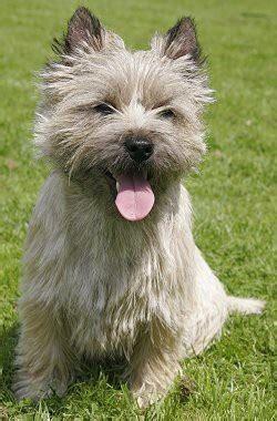 cairn terrier puppies 25 best ideas about cairn terriers on cairn terrier puppies cairn