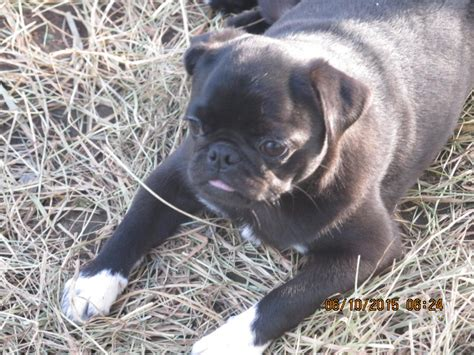 walk the line pug ranch walk the line pug ranch contact us