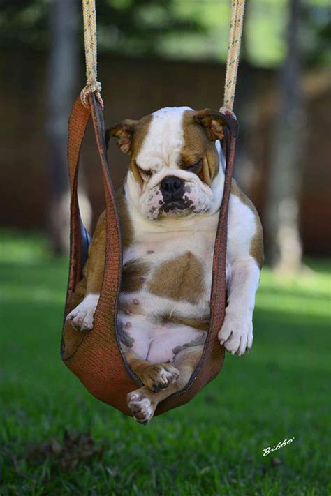 bulldog in a swing sleep pets and puppys on pinterest