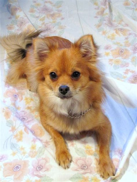 haired chihuahua pomeranian mix puppies pomchi pomeranian chihuahua mix info temperament puppies pictures