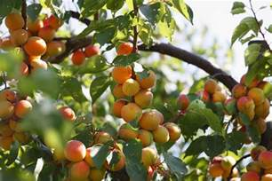 what is a of fruit trees called all about self fertile fruit trees