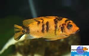 African cichlids aquarium concepts