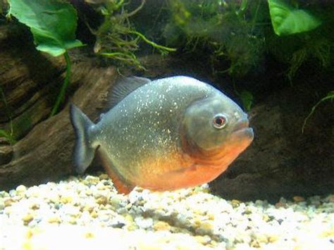 feeding tips for belly pacu pets
