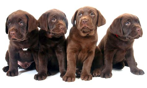 lab colors top labrador retriever colors wallpapers