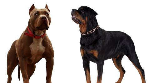 rottweiler vs rottweiler vs pitbull bhaskban daily news analysis exclusives photos