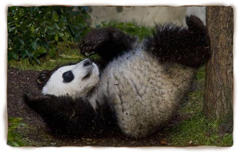 Panda facts for kids panda giant panda panda pictures panda facts