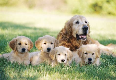 labrador or golden retriever best family dogs golden retriever photograph 1180 golden retriever pictures