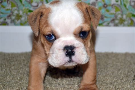 free bulldog puppies bulldog puppy for sale american bulldog puppies for sale bruiser