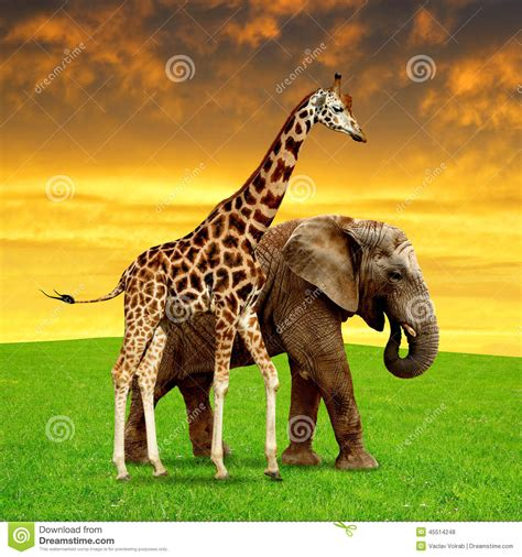 Giraffe With Elephant Stock Photo - Image: 45514248