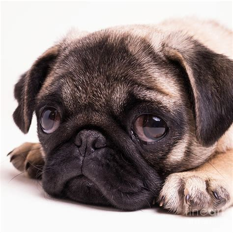 sad pug puppy sad sack pug puppy photograph by edward fielding