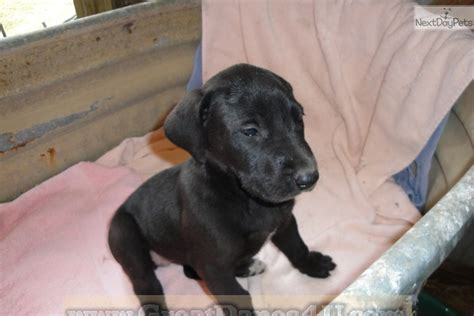 rescue missouri great dane puppies and dogs for sale and adoption in