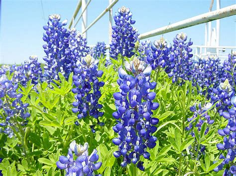 state flower of texas texas state flower