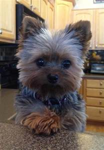 yorkie hair cut chart morgie s hair on pinterest yorkie yorkshire terrier and