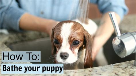 how to bathe puppy how to safely bathe a puppy at home tips tricks