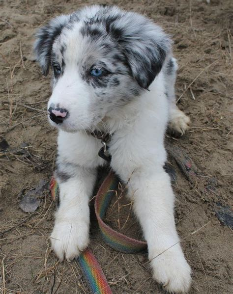 blue merle border collie puppies for sale pedigree blue merle border collie puppies for sale