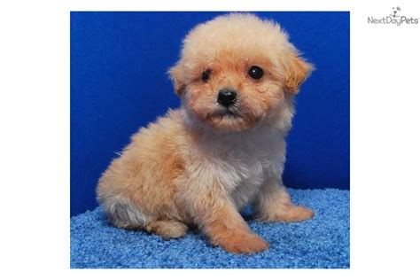 cinnamon maltipoo puppies for sale teacup maltipoo dogs breeds picture