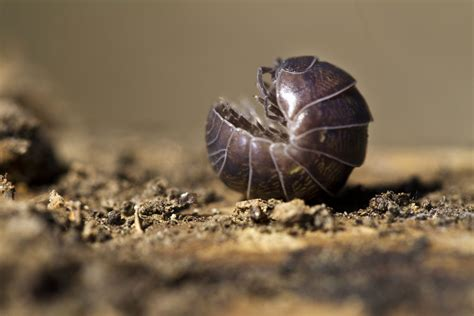 Woodlice Creepy Critters pill bugs emerged from the sea to conquer the earth pbs