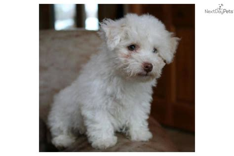 havanese cross breeds havanese cross breeds breeds picture